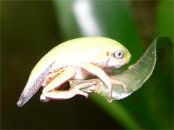 Phylomedusa-jong.jpg