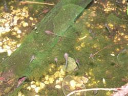 Phylomedusa-larven2.jpg